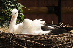 Junge Störche, die im Nest sich entspannen Stockbilder
