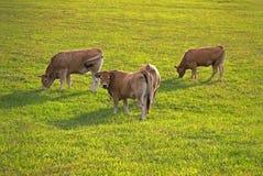 Junge Stiere an der Weide stockbilder