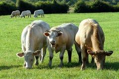Junge Stiere in der Wiese Lizenzfreie Stockbilder