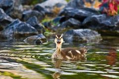 Junge Stockenten-Ente lizenzfreie stockfotos