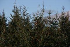 Junge Tannenbäume schließen oben lizenzfreie stockbilder