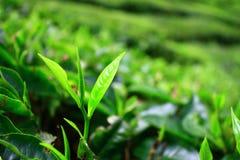 Junge Teeblätter in den Cameron-Hochländern stockfotos