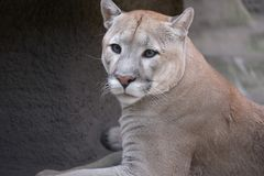 Junge Tigerin lizenzfreie stockbilder