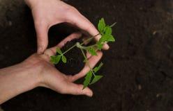 Junge Tomate in den Händen mit Boden auf dunklem Hintergrund Lizenzfreie Stockfotografie