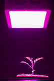 Junge Tomatenpflanze unter LED wachsen Licht Stockfoto