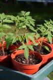 Junge Tomatenpflanzen in den Potenziometern. Lizenzfreies Stockbild