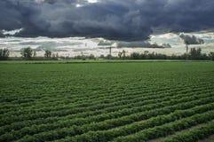 Junge Tomatenplantage mit stürmischem Wetter Stockbild