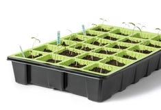 Junge Tomatensämlinge auf einem weißen Hintergrund Lizenzfreies Stockbild