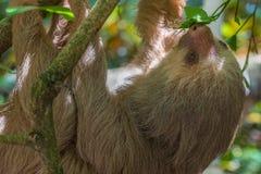 Junge Trägheit in Costa Rica Stockfoto