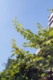 Junge Traube verzweigt sich, hoch erreichend in Richtung zur Sonne Lizenzfreies Stockfoto