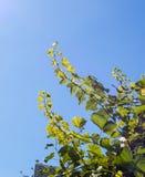 Junge Traube verzweigt sich, hoch erreichend in Richtung zur Sonne Stockfotos