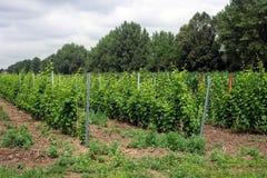 Junge Traubenkultur, rumänischer Weinberg Stockbilder