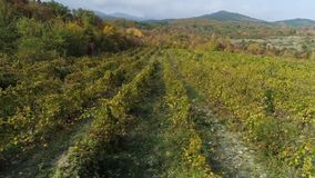 Junge Traubenweinbergreihen Alte Weinberge mit roten Weinreben schuß Schöne szenische Weinberge bei Sonnenaufgang stock video footage