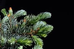 Junge und ältere Niederlassungen von Koniferenbaum Blautanne Picea Pungens auf dunklem Hintergrund Stockfoto