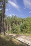 Junge und alte Kiefer nebeneinander im Holz am Sommermorgen Lizenzfreie Stockfotografie
