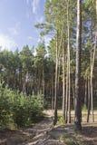Junge und alte Kiefer nebeneinander im Holz am Sommermorgen Stockfotos