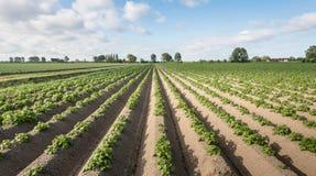 Junge und frische grüne Kartoffelpflanzen im Frühjahr Lizenzfreie Stockfotos