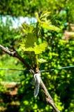 Junge und grüne Trauben mit den gebildeten Knospen Stockfoto