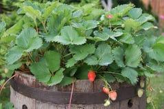 Junge und rote Erdbeeren Stockbild