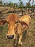 junge und schwache Kuh, die hungrig schaut lizenzfreies stockfoto