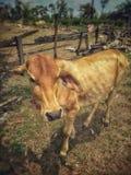 junge und schwache Kuh, die hungrig schaut lizenzfreie stockfotos