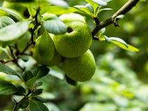 Junge, unentwickelte Früchte von wilder Apfel Malus sylvestris lizenzfreies stockfoto