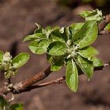 Junge verlassen auf den Zweigen des Apfelbaums Lizenzfreies Stockbild