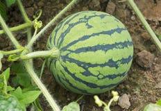 Junge Wassermelone Stockbilder