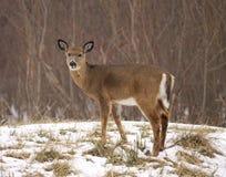 Junge weiß-angebundene Rotwild im Schnee Lizenzfreies Stockfoto