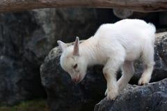 Junge weiße Babyziege Lizenzfreies Stockfoto