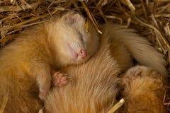 Junge weiße Frettchen in einem Nest Lizenzfreies Stockbild