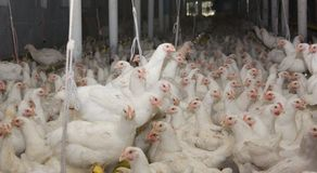 Junge weiße Hennen Stockbild