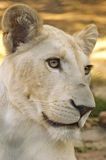 Junge weiße Löwin Stockbild