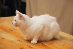 Junge weiße männliche Katze stockfotografie