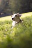 Junge weiße Steckfassung Russell auf Gras im Park Lizenzfreies Stockfoto