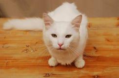 Junge weiße Tom-Katze stockbild