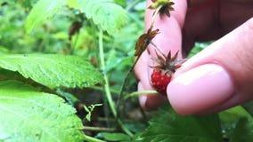 Junge weibliche Hände mit einer Handvoll reifen Erdbeeren Gesunde organische Ernte im Herbstwald stock footage