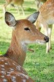 Junge weibliche sika Rotwild Stockfotos