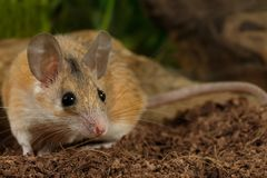 Junge weibliche stachelige Maus der Nahaufnahme jagt auf Insekt Stockfotografie