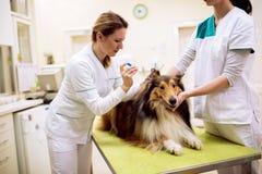Junge weibliche tierärztliche nehmende Probe von Hund-` s Ohr stockfotos