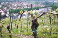 Junge Weinlebensdauer in Wineyard Lizenzfreie Stockfotografie