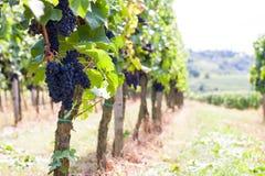 Junge Weinlebensdauer in Wineyard Stockfotos
