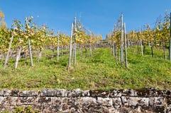 Junge Weinstöcke in einem Weinberg Stockbild