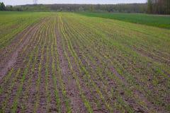 Junge Weizens?mlinge, die auf einem Gebiet wachsen stockbilder