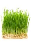 Junge Weizensprößlinge Stockbild