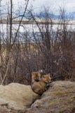Junge Welpen des roten Fuchses an ihrer Höhle Yukon Kanada Lizenzfreie Stockbilder