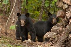 Junge wilde Bären Stockbild