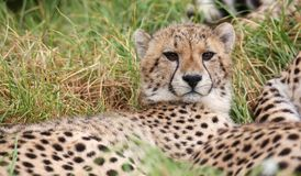 Junge wilde Gepardkatze mit schönem beschmutztem Pelz Stockfotos