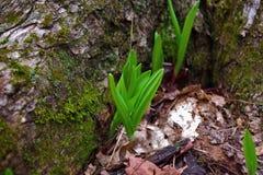 Junge wilde Porrees erhöht das Brechen durch den Boden Lizenzfreie Stockbilder