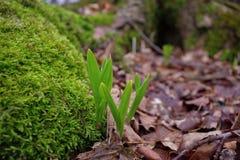 Junge wilde Porrees erhöht das Brechen durch den Boden Lizenzfreies Stockfoto